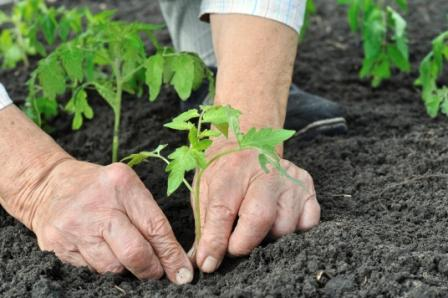 Close Up Of Hands Planting A Seedling