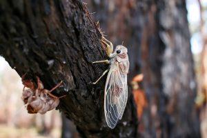 Cicada On A Branch