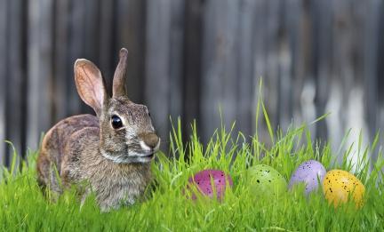 rabbit eggs